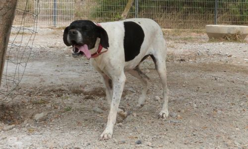 WAIKA - pointer 10 ans  (7 ans de refuge) - Spa de Gernnevilliers (92)  eligible FAD 500_6093d66fdf239cd020e535fabb299913