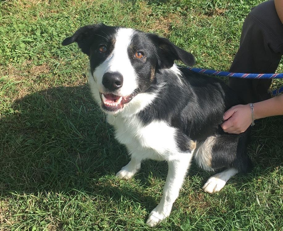 adoption de neo: moyen chien border collie, région lorraine