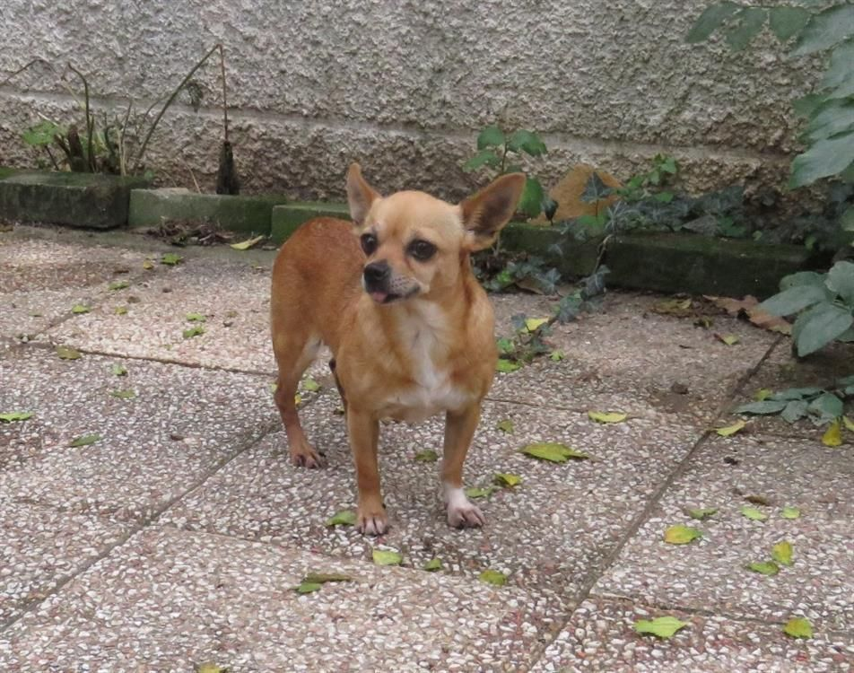Adoption De Pam Petit Chien Chihuahua Region Rhone Alpes