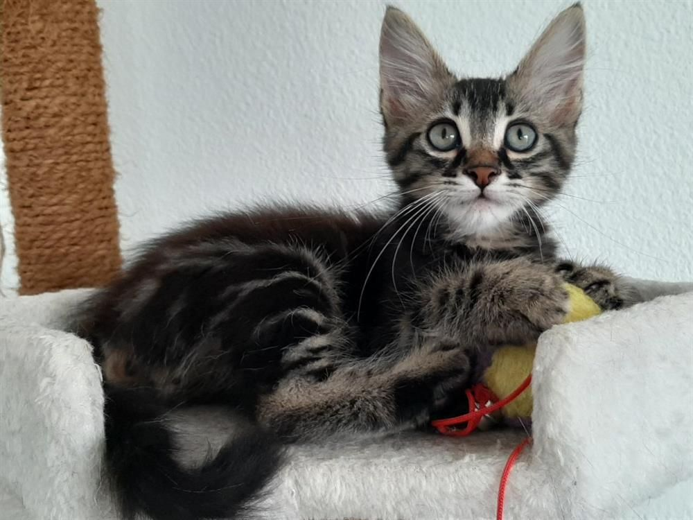 Adoption De Chaplin Petit Chat Race Indefinie Region Aquitaine