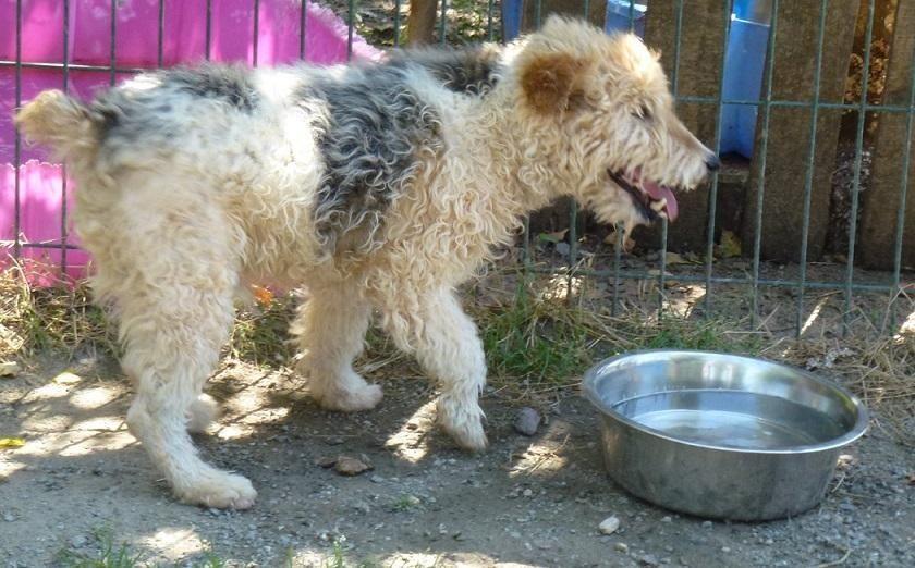 VALOU - fox terrier 9 ans -Spa de Le Garric (81) 36228d033b76702464ee2b90d76b2ae5