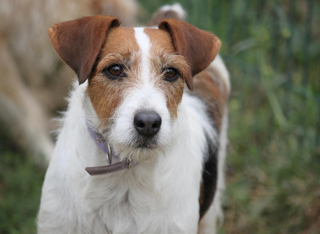 PRINCESSE - x fox terrier 5 ans - Spa de Chamarande (91) 3c7c15d9265d916726d9d68150506d2d