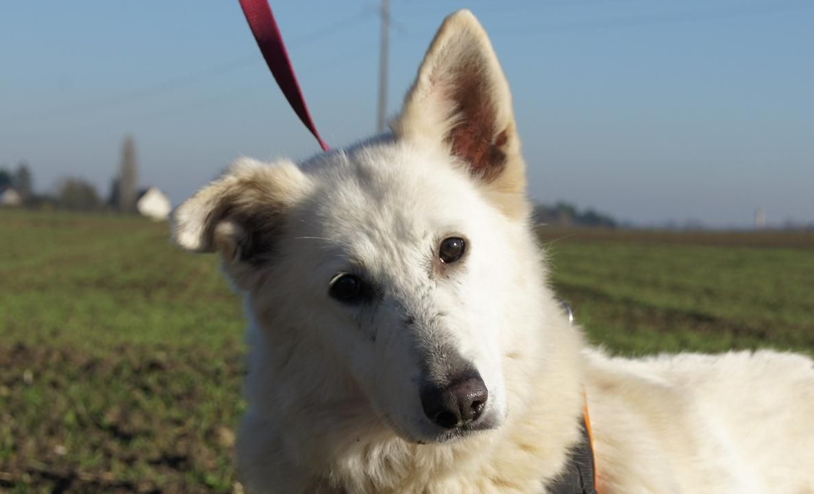 Adoption De Hora Grand Chien Berger Blanc Suisse Region Centre