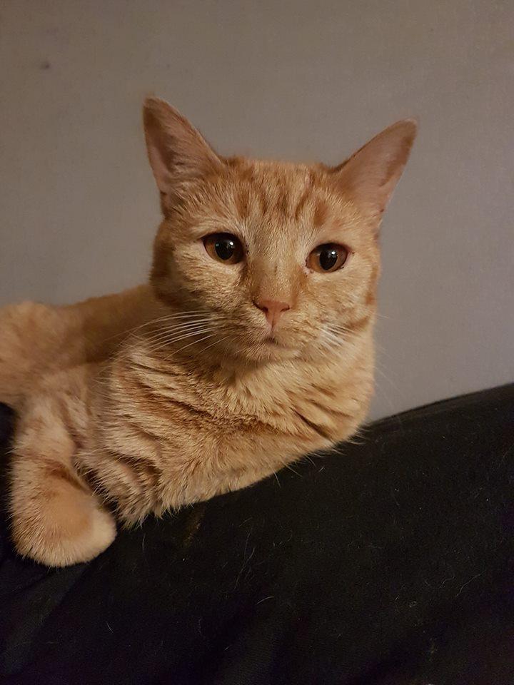 Adoption de roxie grand chat chat domestique poil court for Adaptation chat nouvelle maison