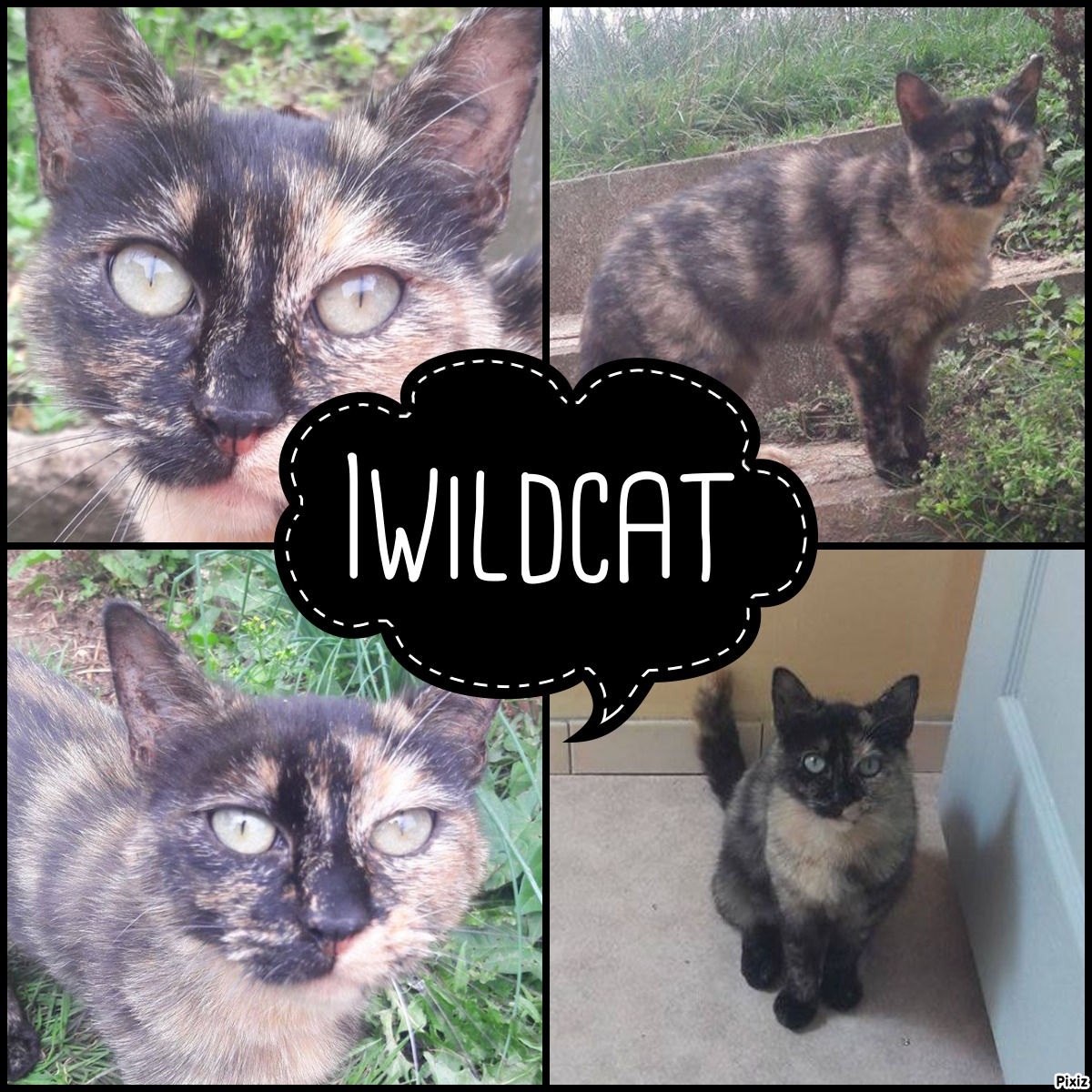 iwildcat
