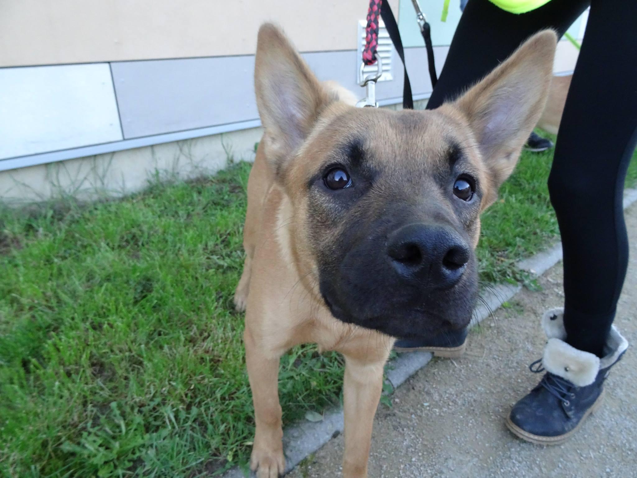 Adoption de Noobi: Moyen chien berger malinois, région Alsace