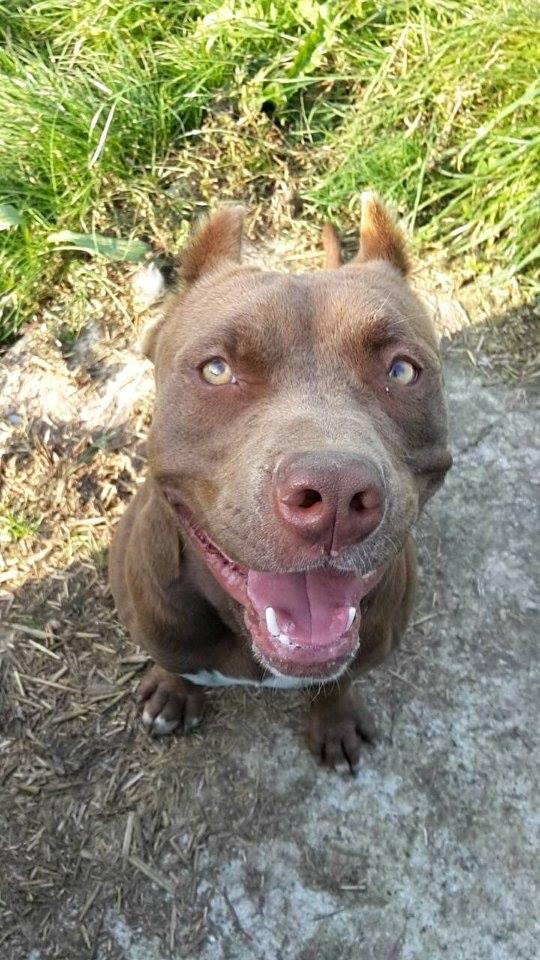 PEARL - x dogue 5 ans (5 ans de refuge)  AVA à Cuy Saint Fiacre (76) 5a21565704c38081323115