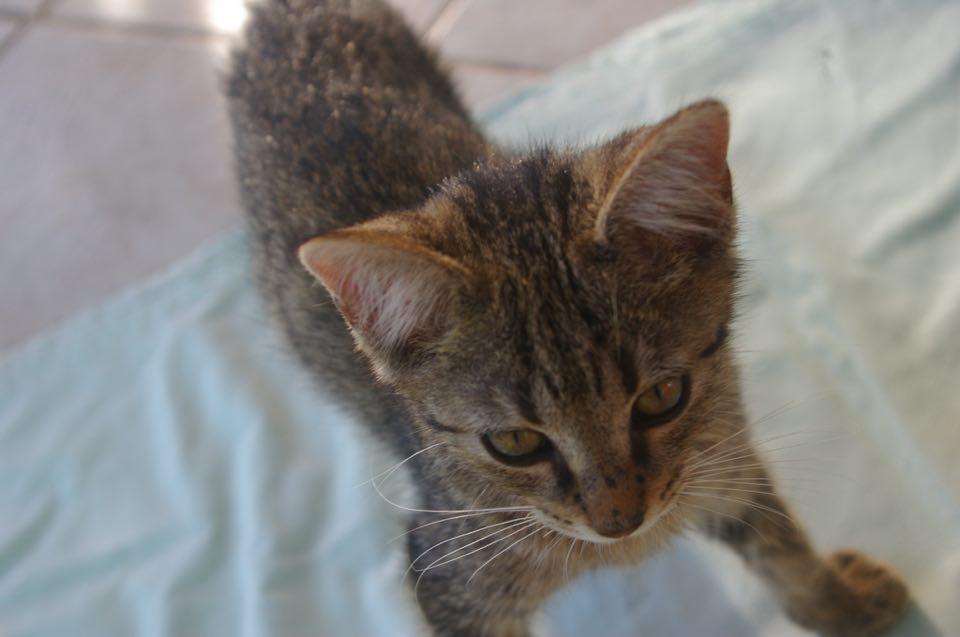 Adoption de didl petit chat europ en r gion centre for Adaptation chat nouvelle maison