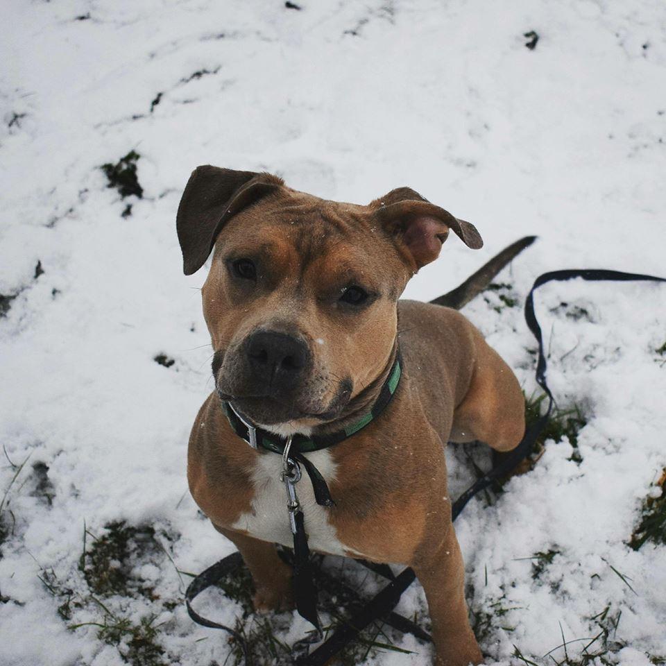 Adoption De Muffy Moyen Chien Staffordshire Bull Terrier Region Lorraine