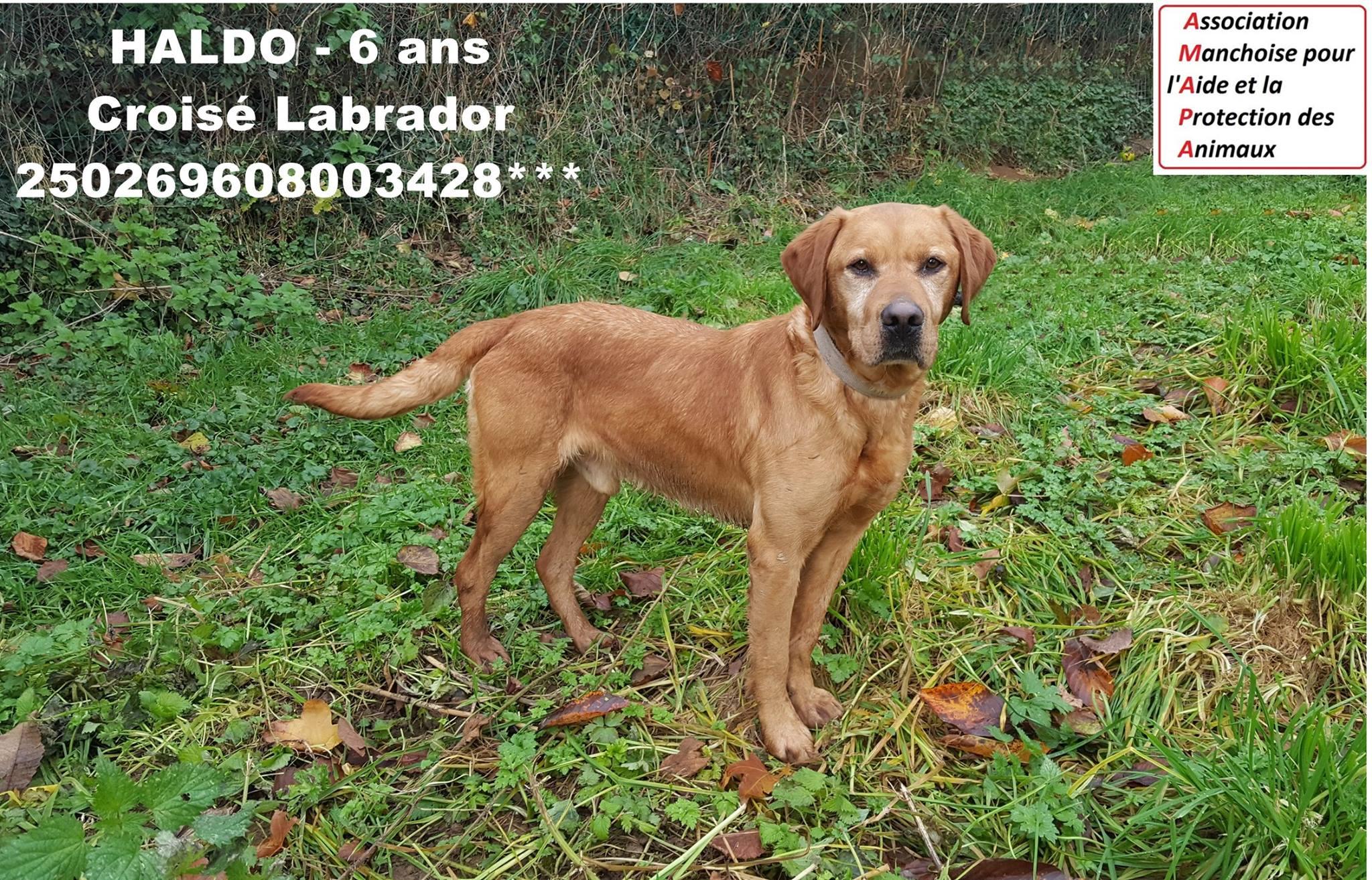 HALDO - x labrador 6 ans - AMAPA à Coutances (50) 5a465138e08ff510736677