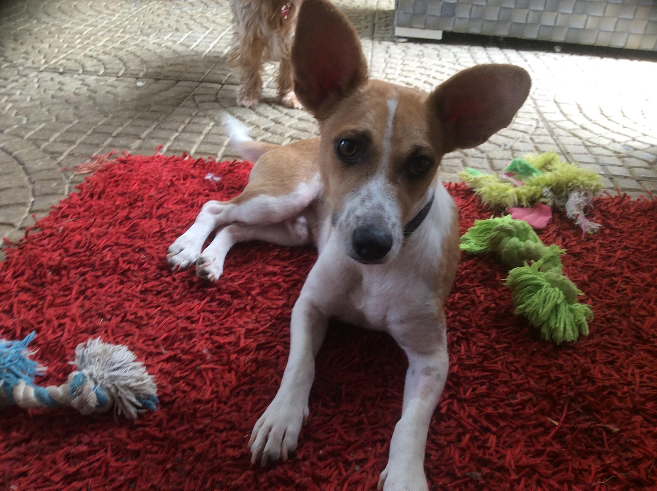 Adoption de Dumbo: Petit chien chien croisé petite race