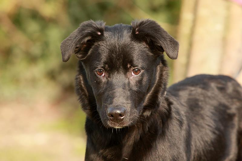 adoption de 268 choco grand chien braque allemand r gion aquitaine. Black Bedroom Furniture Sets. Home Design Ideas