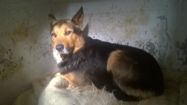 BOBBY - berger allemand 6 ans - ASA à Aussillon (81) 5ae7298311165143641312