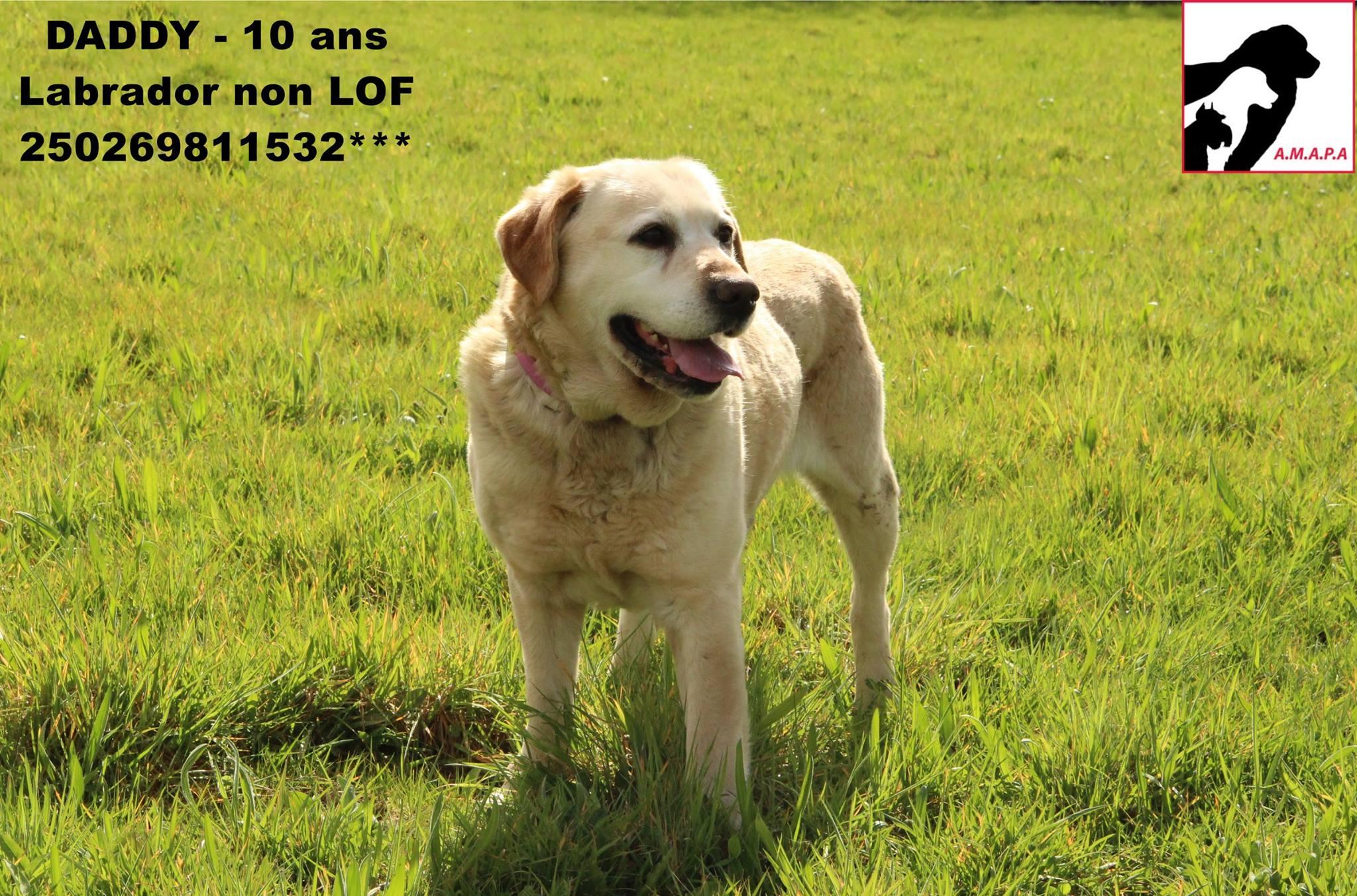 DADDY - labrador 10 ans - AMAPA à Coutances (50) 5b4db7eab76f5693200113