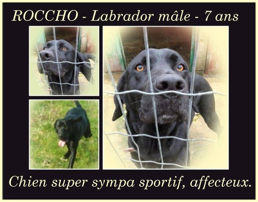 ROCCHO - labrador 7 ans - Spa Bigorre à Tarbes (65) 5c35c026ae1aa379401458
