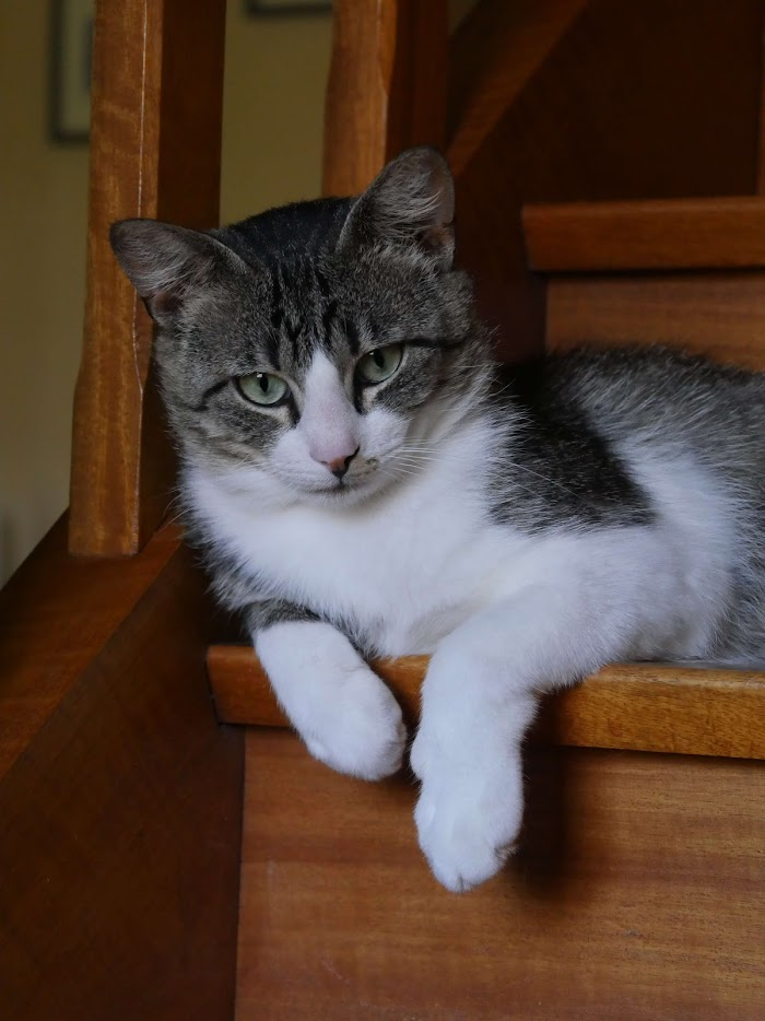 PONKO jeune chat câlin et joueur