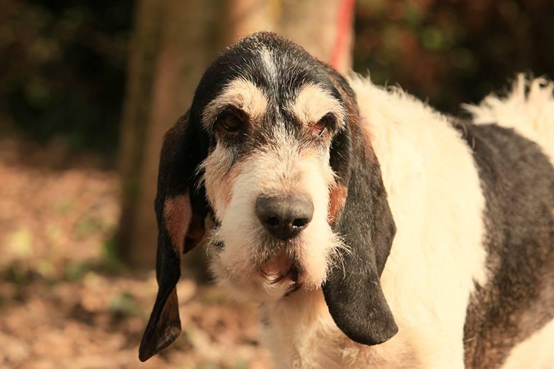 adoption de 110 gaston petit chien briquet griffon vend en r gion aquitaine. Black Bedroom Furniture Sets. Home Design Ideas