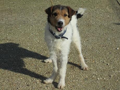 JACKSON - x fox terrier 9 ans - Spa d'Auxere (89) 5c8b5ccc13591921855832