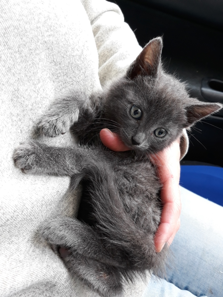 Adoption De Plume Et Piou Chatons Gris Petit Chat Europeen Region Ile De France