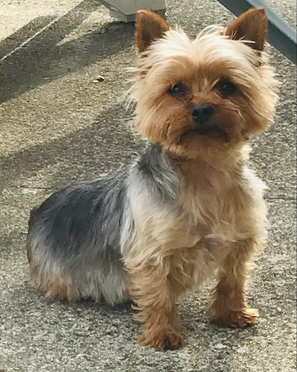 Adoption De Judith Petit Chien Yorkshire Terrier Region Basse Normandie