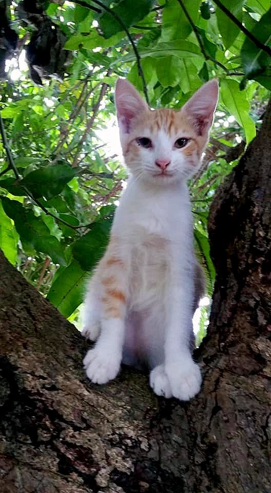 Popy, chaton mâle croisé