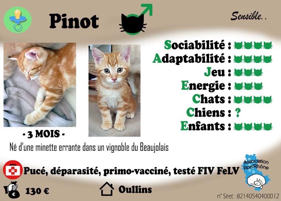 Adoption De Pinot Moyen Chat Chat Domestique Poil Court Region Rhone Alpes