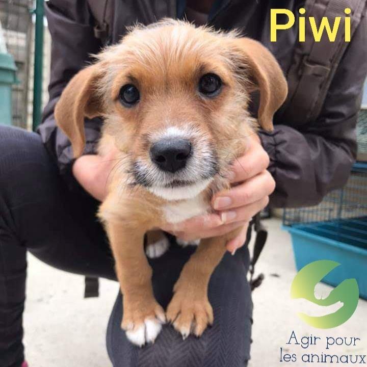 Adoption De Piwi Petit Chien Chien Croise Petite Race Region Midi Pyrenees