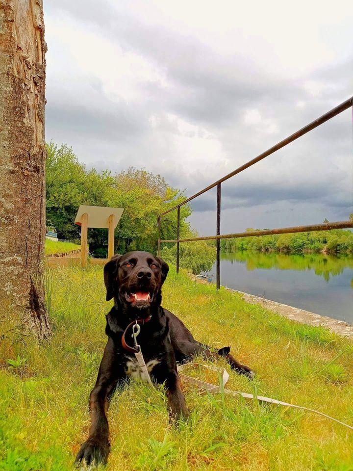 Achille, mâle croisé labrador