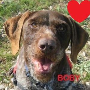 BOBY - braque allemand 9 ans - Spa de Montpellier (34) 5ed663b52df39332290428