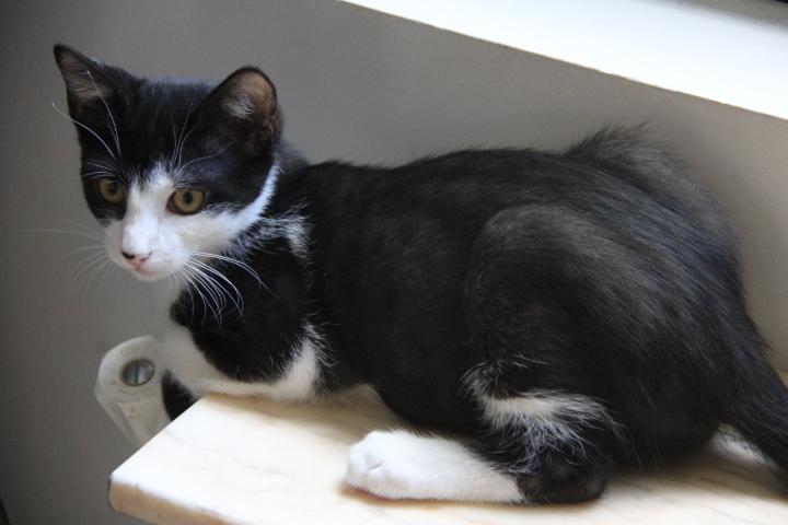 LIVAI chaton noir/blanc 3 mois