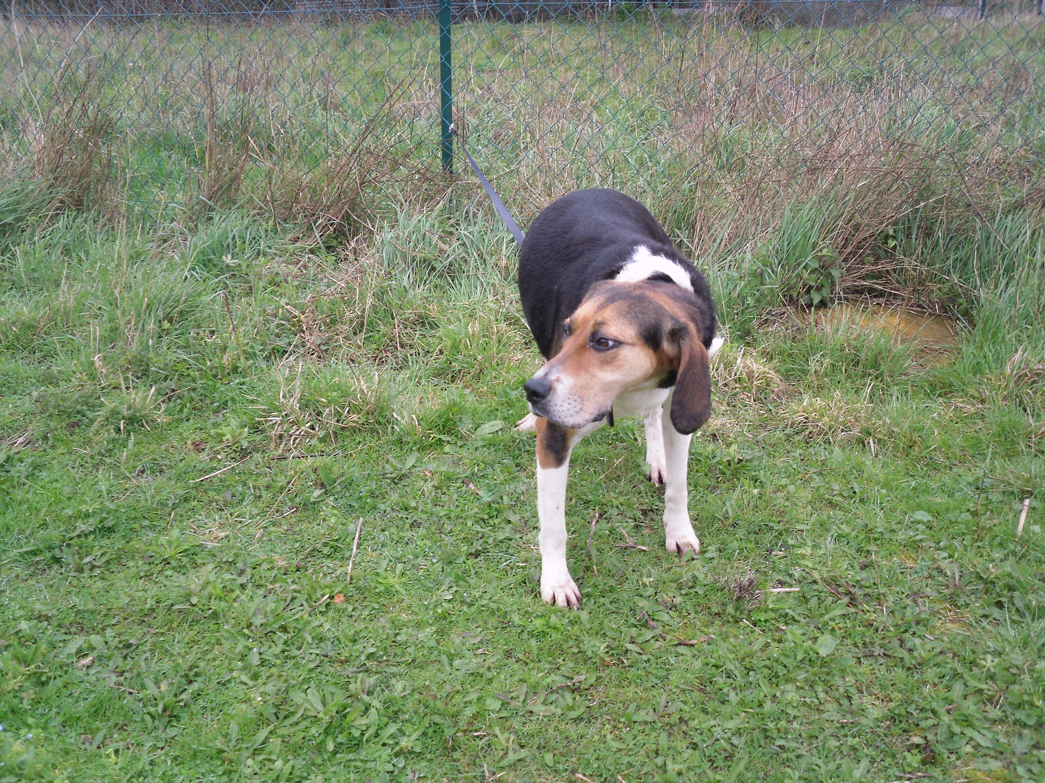 LADA - beagle 5 ans - Spa de la Mayenne à Laval (53) 5f70a46bb685d812800986