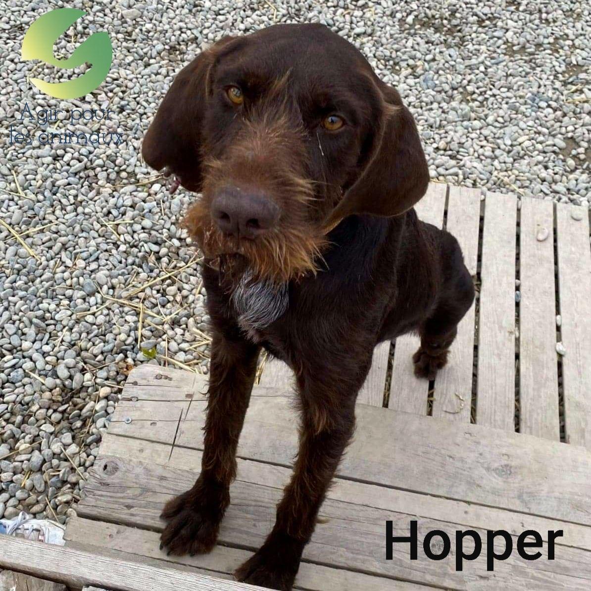 HOPPER - x drahthaar 4 ans -  Agir pour les animaux à Castelginest (31) 5fc27ba0699a8262146989