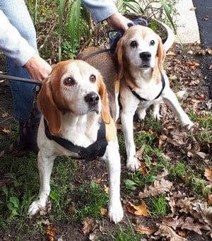 IGOR 12 ans et MISKA 11 ans - beagles - Spa de Saintes (17) 5fd2361bd1547187869176