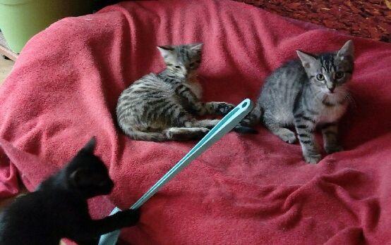 Nos gentils et jolis chatons à adopter
