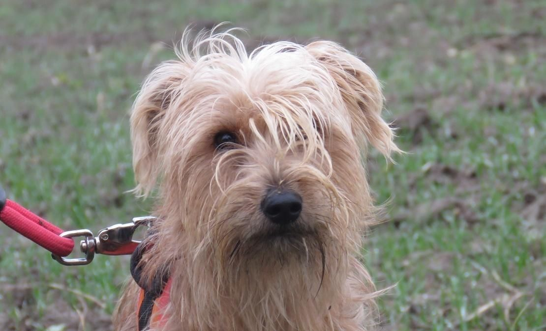 CARAMBAR - x fox terrier 1 an - Spa de Chilleurs aux Bois (45) 8122c249fff92b9162f24d8125e3f6ac