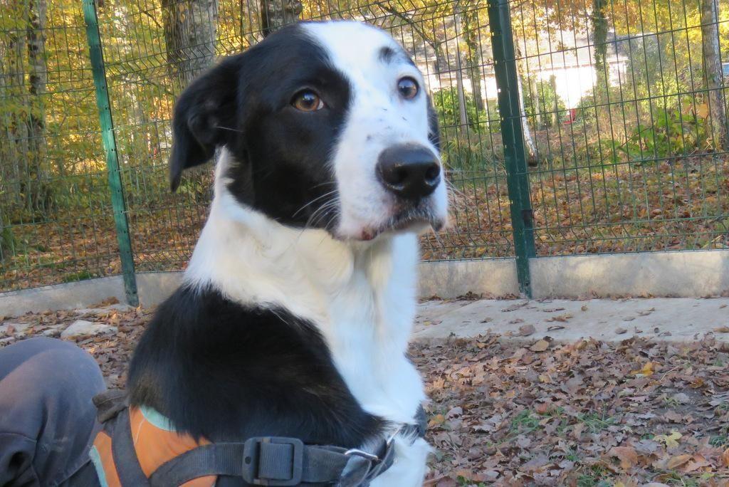 Adoption de Ares: Moyen chien race indéfinie, région Centre