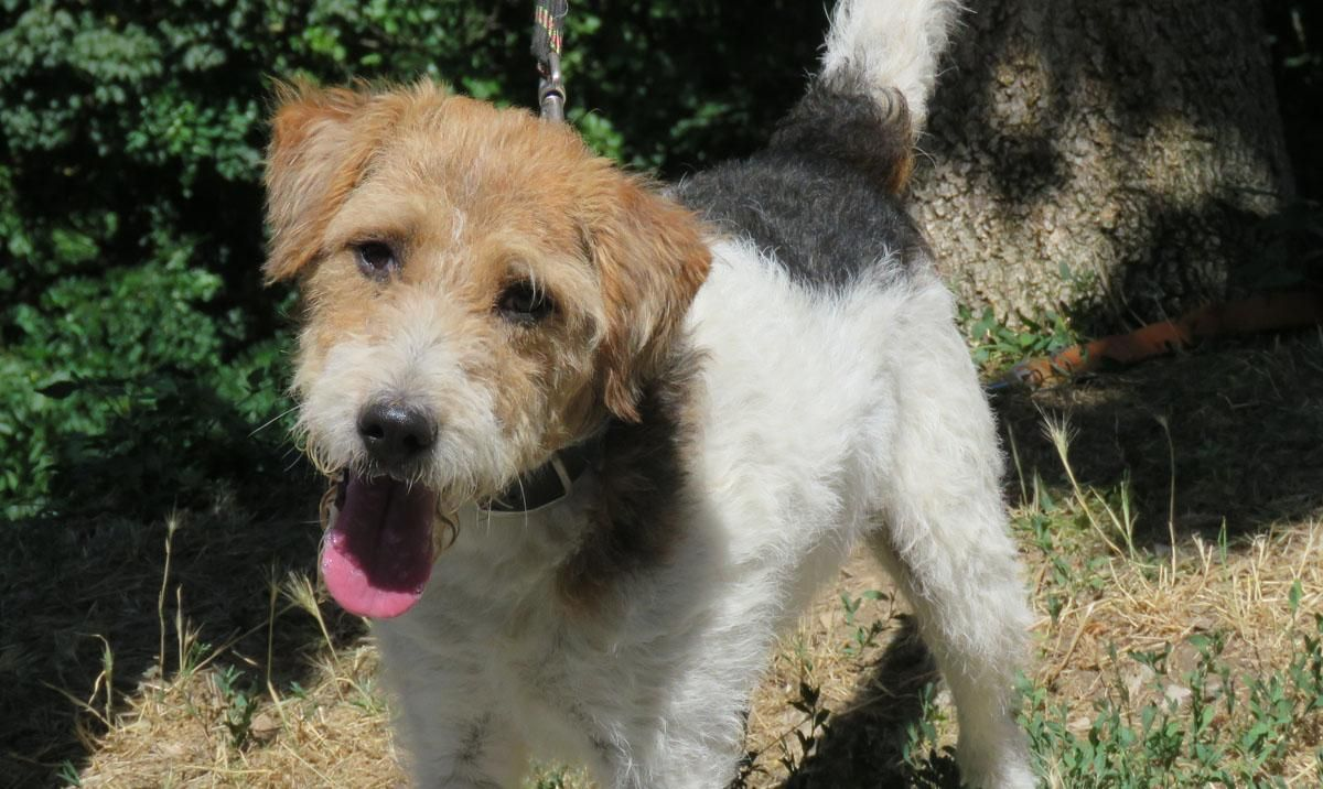 JUNIOR - x fox terrier 5 ans - Spa de Millau (12) 9fcffdc8057af94aaa2a82ec1462bde3