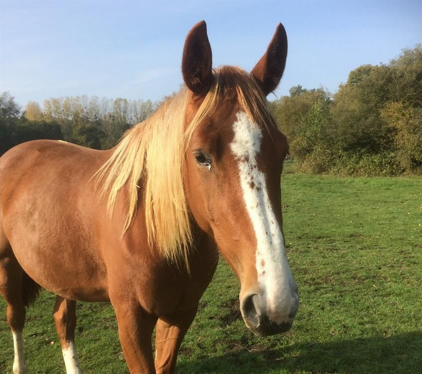Adoption De Sorgina Grand Cheval Race Indefinie Region Basse Normandie
