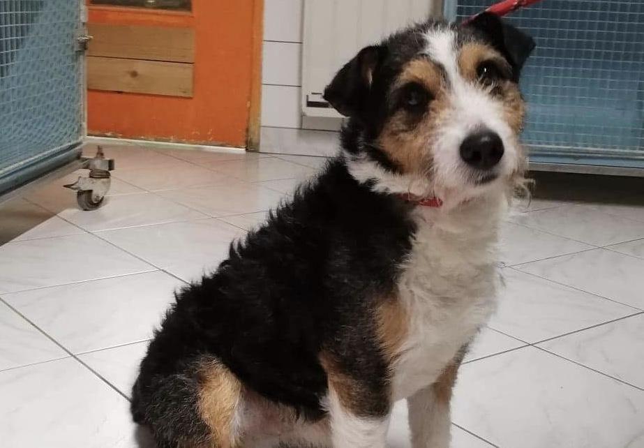 WASQ - x fox terrier 5 ans - Spa de Cliron (08) C9dbe5e98b0b48089269fd68d79dbc29