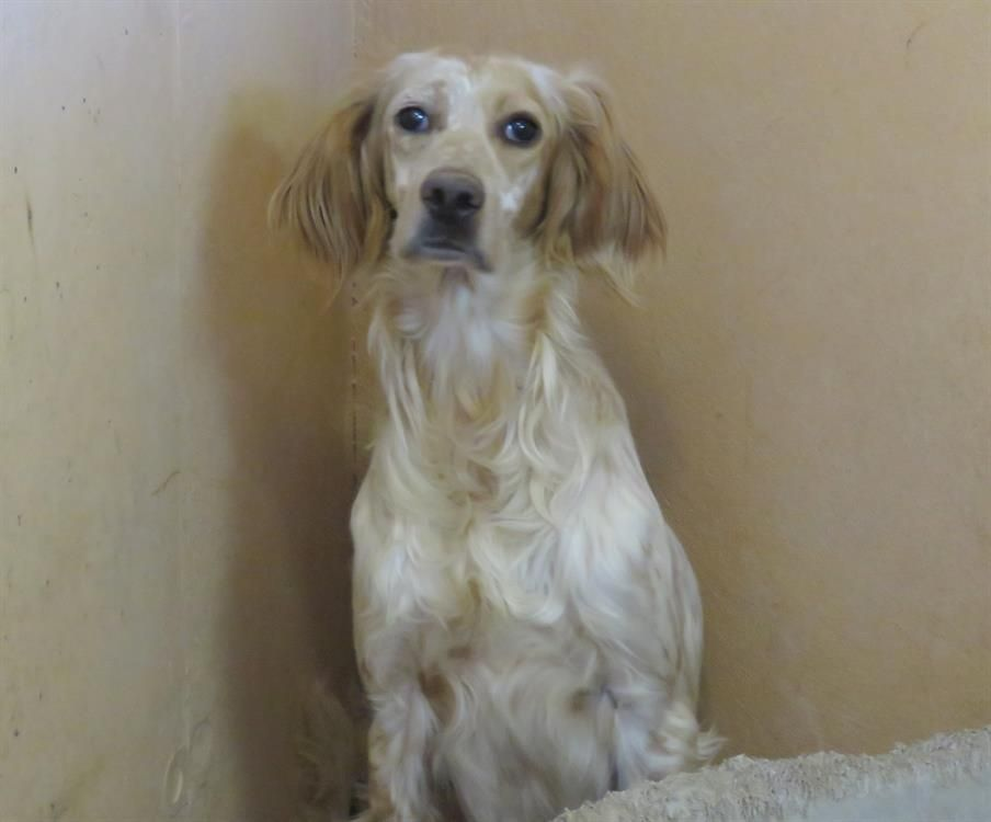 Adoption De Nitch Paa19209 Grand Chien Setter Anglais Region Ile