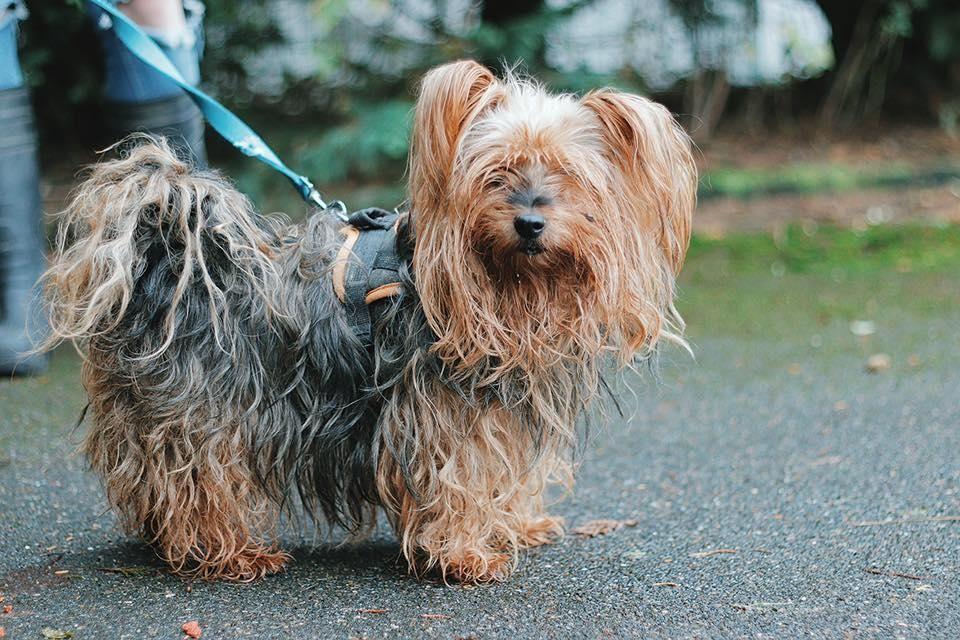 Adoption De Douce Vaa22166 Petit Chien Yorkshire Terrier Region Ile De France