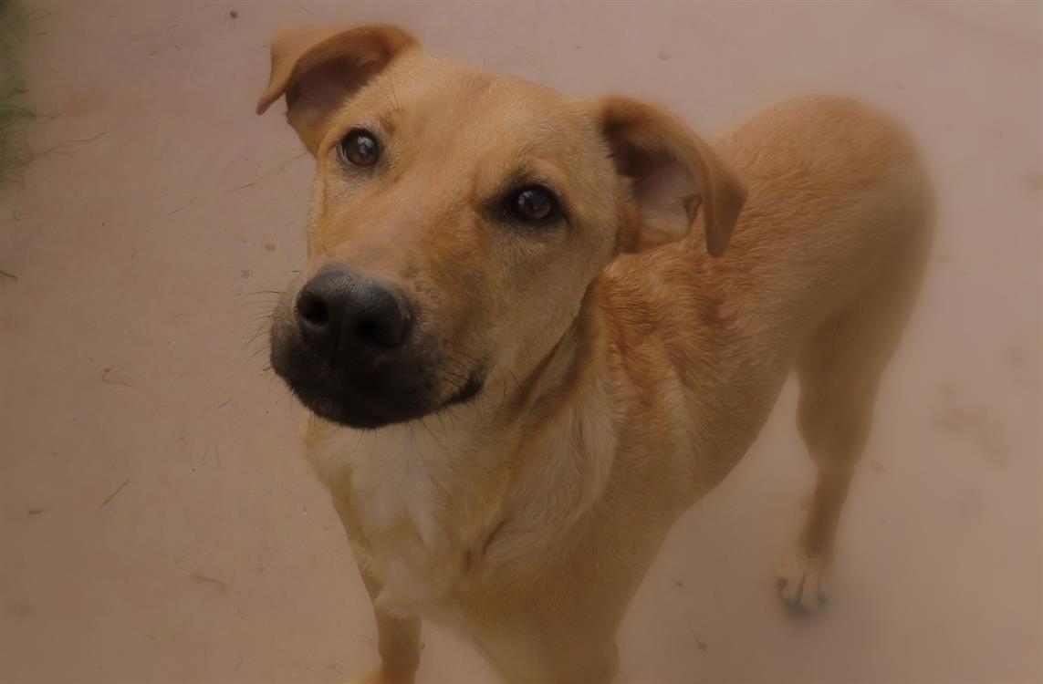 Adoption de uby paa17952 moyen chien race ind finie - Race chien volt ...