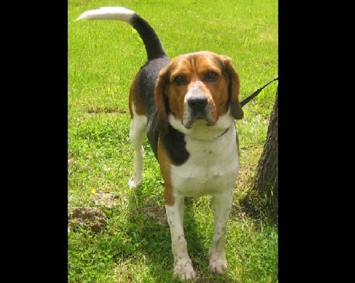 BUNKER - beagle 5 ans - Spa de Plaisir (78) eligible fald F40df06b7c8f374975aaa34a24b1626c