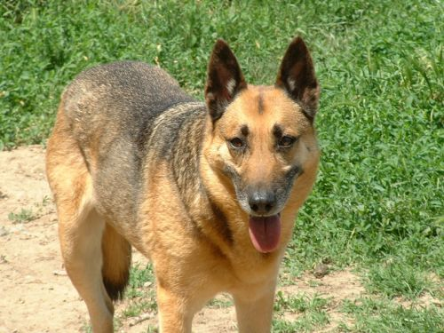 adoption de athena moyen chien berger allemand r gion midi pyr n es. Black Bedroom Furniture Sets. Home Design Ideas
