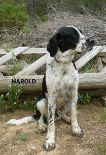 HAROLD - x braque noir/blanc moucheté 8 ans  (3 ans de refuge) - Refuge Saint Roch à Les Baux de Provence (13) 500_b9ccbe4fc7104d61f2e5bf5715a4c8d8