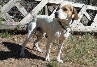 MAKO - x epagneul/beagle 9 ans (5 ans de refuge) - Refuge St Roch à Les Baux de Provence (13) 500_1db1974e1ec13009015f2bfcec6f6696