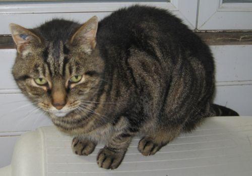 adoption de meliba petit chat chat domestique poil court r gion nord pas de calais. Black Bedroom Furniture Sets. Home Design Ideas