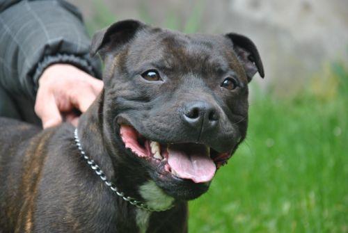 Comportement Staffie adoption de elios: moyen chien staffordshire bull terrier, région