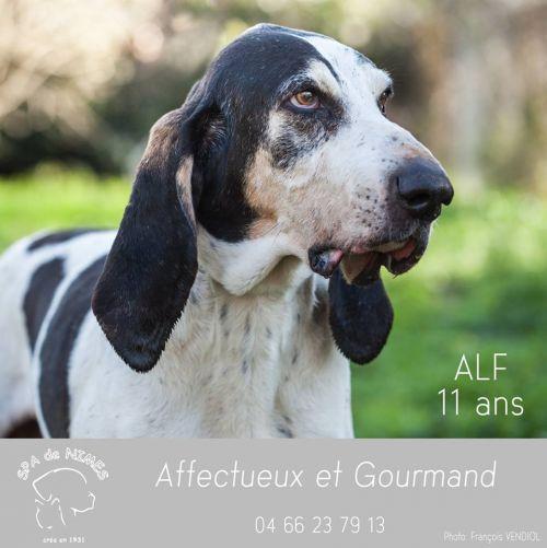 sos panier retraite pour ALFf - x gascon saintongeois 13 ans  (10 ans de refuge) - Spa Les Murailles à Nimes (30) 500_81b9794cae7add297800e35a13872b6e