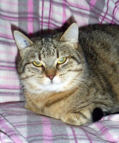 adoption de les chats moyen chat chat domestique poil court r gion franche comt. Black Bedroom Furniture Sets. Home Design Ideas